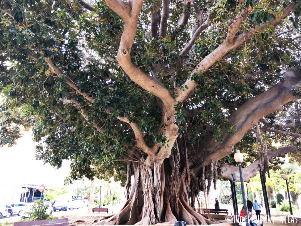 24 hours in alicante, a day in alicante, Rubber Tree, Alicante promenade